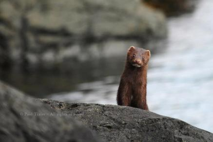 A curious mink