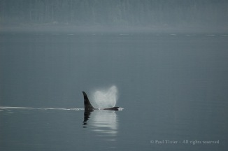 Adult male killer whale, BC