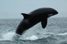Killer whale breaching, BC