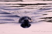 Harbor seal, BC